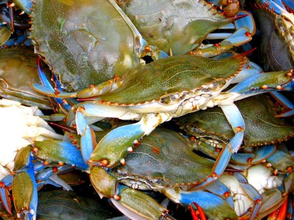 blue_crabs